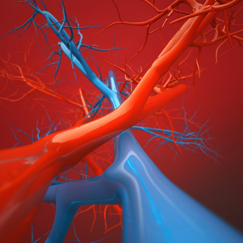 The Anatomy Of A Vein The New Jersey Vein Amp Vascular Center